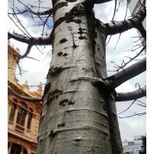 Adansonia digitata - Baobab Africano - GRANDE