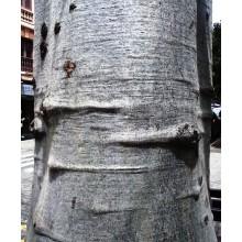 Adansonia digitata - African Baobab - LARGE