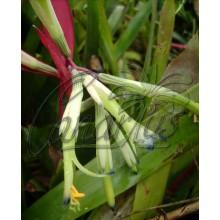 Billbergia distachya