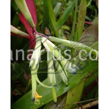 Billbergia distachya