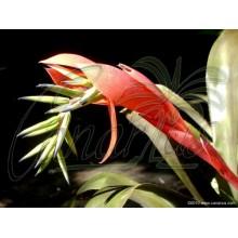 Billbergia distachya var. rubra