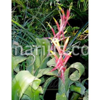 Billbergia leptopoda