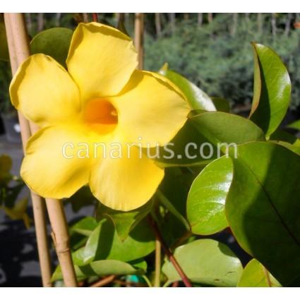 Pentalinon luteum - Yellow Mandevilla