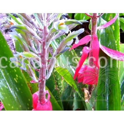 Billbergia macrocalyx