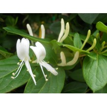 Lonicera japonica - White Honeysuckle