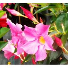 Mandevilla sanderi cv. Pink