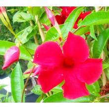 Mandevilla sanderi cv. Red
