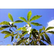 Manihot esculenta - Cassava