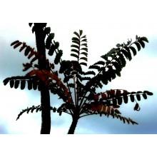 Marcetella moquiniana