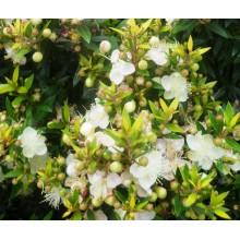 Myrtus communis ssp. tarentina