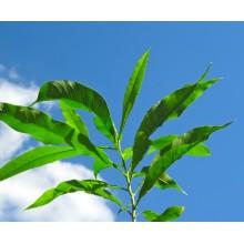 Sapindus saponaria - Soap Tree