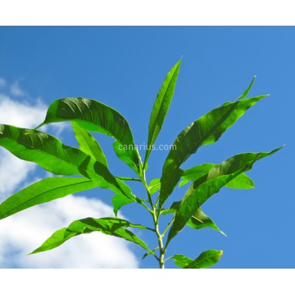 Sapindus saponaria - Árbol del Jabón