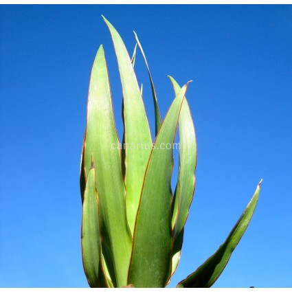 Dracaena draco ssp. ajgal