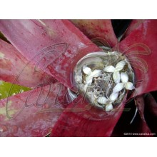 Neoregelia farinosa