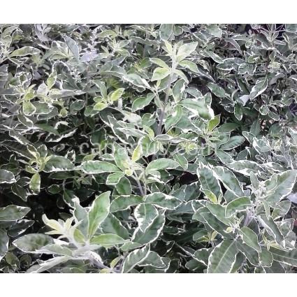 Vitex trifolia  'Variegata'