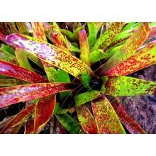 Neoregelia maculata