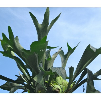 Platycerium bifurcatum - Elkhorn Fern