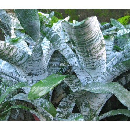 Aechmea fasciata 'Spineless'
