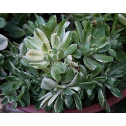 Aeonium castello-paivae cv. 'Suncup