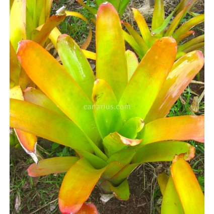 Aechmea blanchetiana - Tamaño adulto
