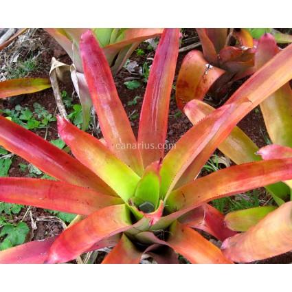 Aechmea callichroma - Tamaño adulto