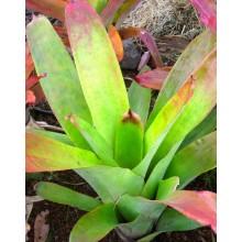 Aechmea callichroma - Flowering size