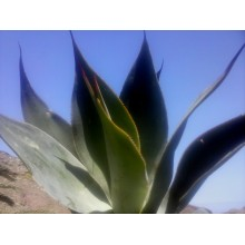 Agave x Blue Flame