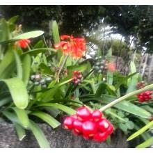 Clivia x Cyrtanthiflora
