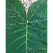 Xanthosoma sagittifolium -  Tannia, Malanga