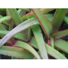 Aloe tauri