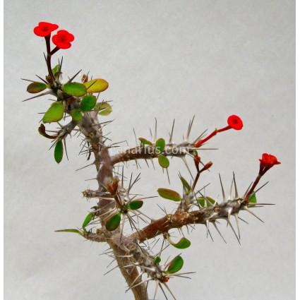 Euphorbia milii cv. mini