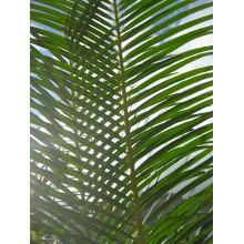 Cycas hainanensis - SPECIMEN