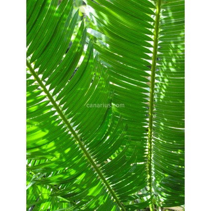 Cycas hainanensis - SPECIMEN - Hojas estrechas