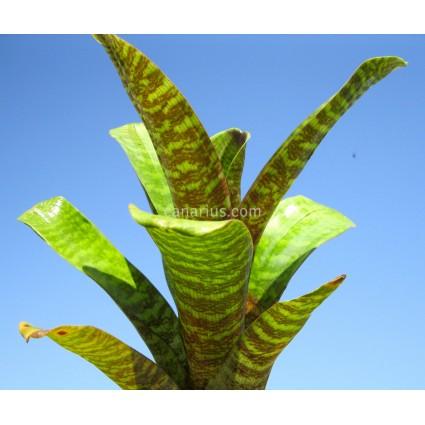 Vriesea forsteriana - LARGE