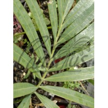 Cycas diannanensis - Large