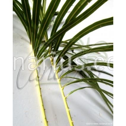 Cycas hainanensis - Large