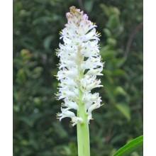 Lachenalia liliiflora