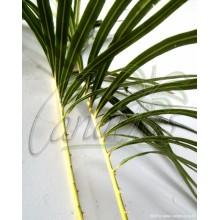 Cycas hainanensis - Small