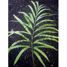 Cycas x Longipetiolula