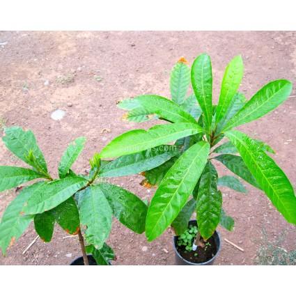 Pouteria campechiana ' Ross ' - Ross Sapote