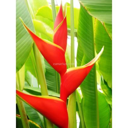 Heliconia stricta 'Firebird'