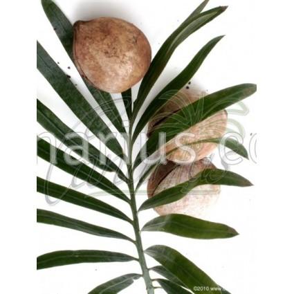Cycas megacarpa