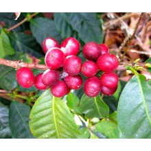 Coffea canephora - Robusta coffee