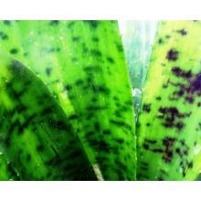 Canistrum giganteum 'Leopardinum'