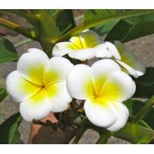 Plumeria 'Palermitana'
