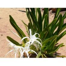Pancratium arenicolum