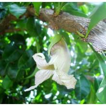 Crescentia cujete - Calabash Tree