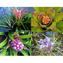 Pack - Small Hardy Bromeliads