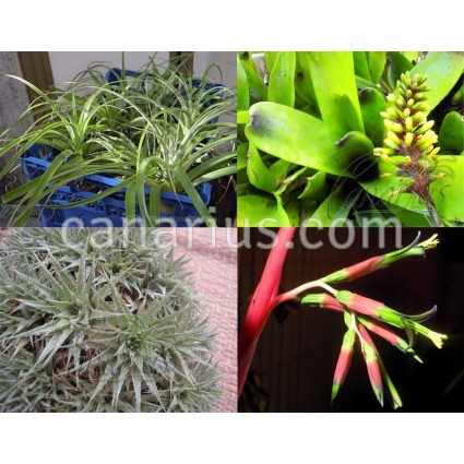 Pack - Choicy Hardy Bromeliads