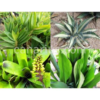 Pack - Plantas herbáceas resistentes al frío